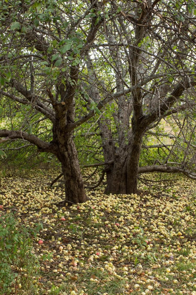 kpardell-apple-trees-pei-2127