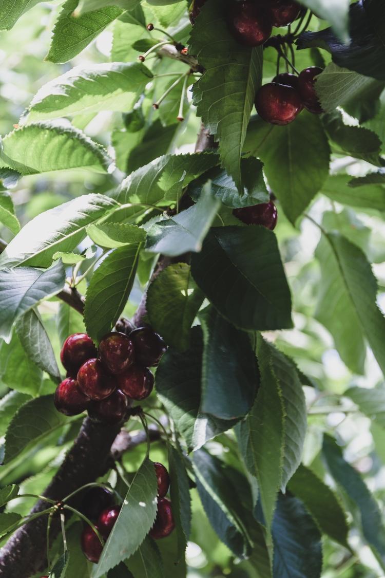 kpardell onair cherries-20202285